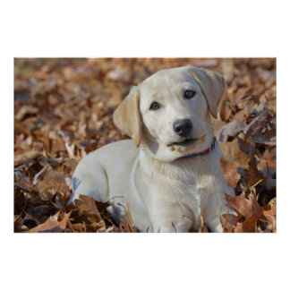 Yellow Labrador Retriever Puppy In Leaves Poster