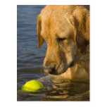 Yellow labrador with a tennis ball in the water post cards