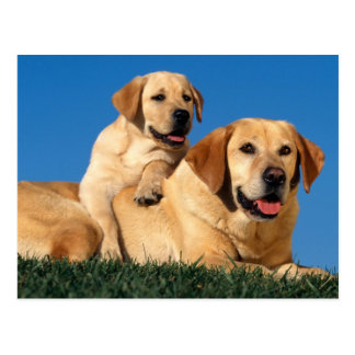 Yellow Labradors Postcard