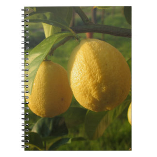 Yellow lemons growing on the tree at sunset notebook