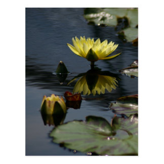 Yellow Lotus Waterlilies Postcard