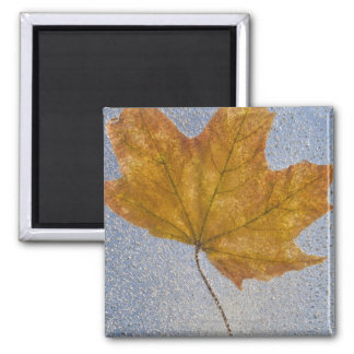 Yellow Maple Leaf Under Water Square Magnet