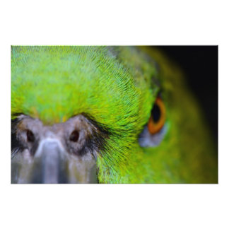 Yellow-Naped Amazon Parrot Photograph