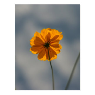 Yellow Orange Coreopsis Postcard