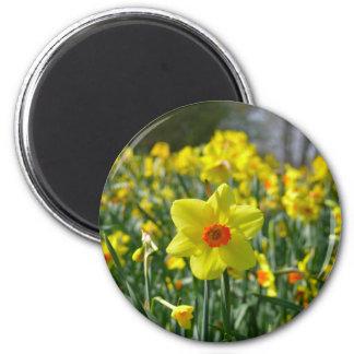 Yellow orange Daffodils 01.0.2 6 Cm Round Magnet