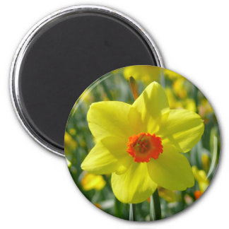 Yellow orange Daffodils 01.0 Magnet