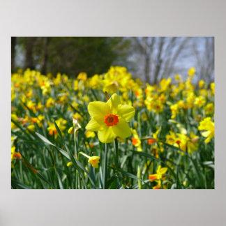 Yellow orange Daffodils 01.0 Poster