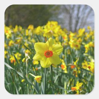 Yellow orange Daffodils 01.0 Square Sticker