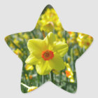Yellow orange Daffodils 01.0 Star Sticker