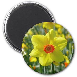 Yellow orange Daffodils 01.2. Magnet