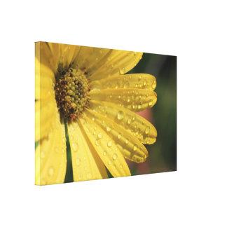 yellow osteospermum canvas print. canvas print