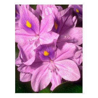 Yellow Purple haze flowers Post Cards