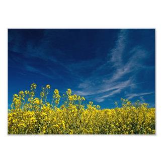 Yellow rape field with blue sky photo