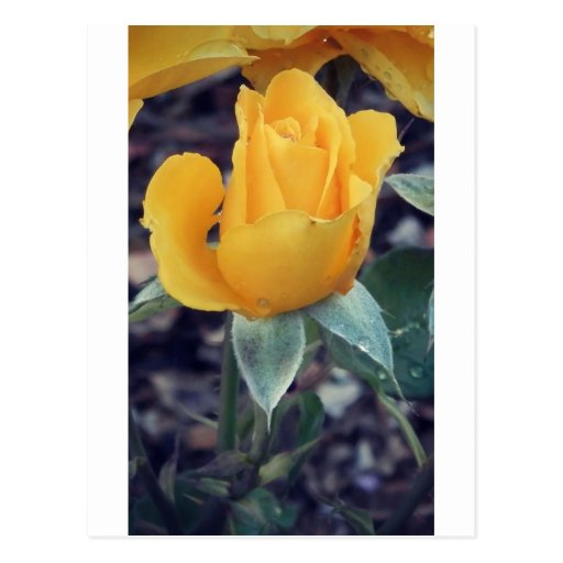 Yellow Rose Bud Post Cards