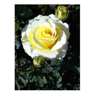 Yellow Rose With Three Buds Cards Postcards
