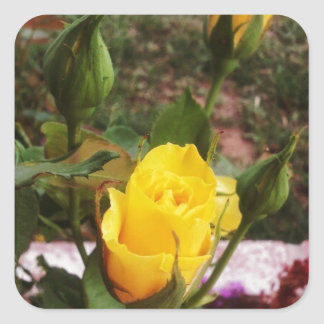 Yellow rosebuds! square sticker