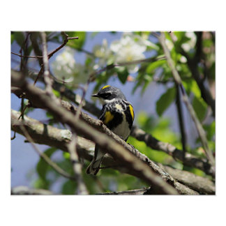 Yellow-rumped warbler in spring plumage poster