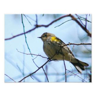 Yellow Rumped Warbler Photo Print