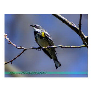 Yellow-Rumped Warbler Postcard