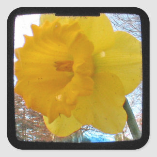 Yellow Spring Daffodil Square Sticker