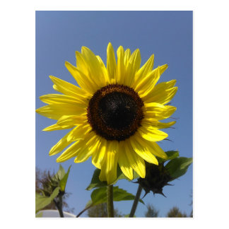Yellow Sunflower And The Blue Sky Postcard