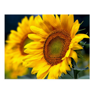 Yellow Sunflower Blank Floral  Post Card Postcard