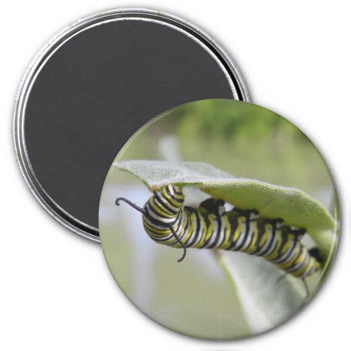 Yellow swallow tail butterfly caterpillar magnet