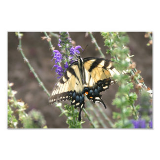 Yellow Swallowtail Butterfly Photograph