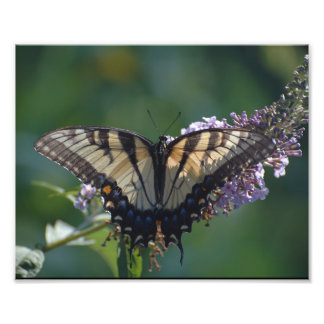 Yellow Swallowtail Butterfly Photographic Print