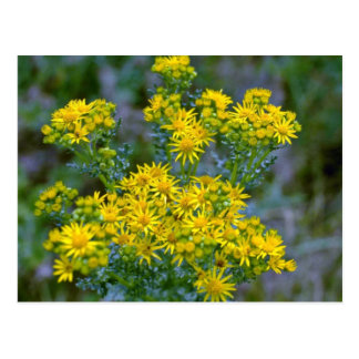 Yellow Tansy flowers Postcards