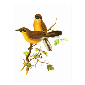 Yellow-throated Laughingthrush Postcard