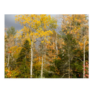 Yellow Trees in New Hampshire Postcard