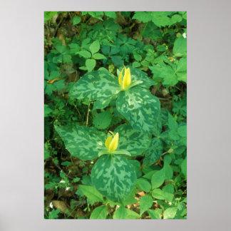 Yellow Trillium Great Smoky Mountain National Park Poster