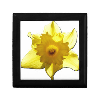 Yellow Trumpet Daffodil 1.0 Gift Box