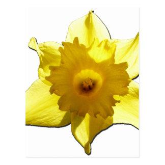 Yellow Trumpet Daffodil 1.0 Postcard