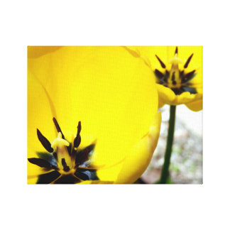 Yellow Tulip Canvas Print