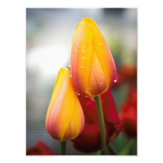 Yellow Tulips and Water Drops Photo Print