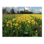 Yellow Tulips in a Field Holland Post Cards