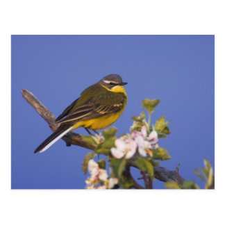 Yellow Wagtail, Motacilla flava, male on apple Postcard
