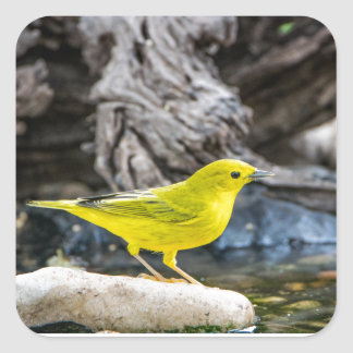 Yellow Warbler Bird Gifts and Accessories Square Sticker