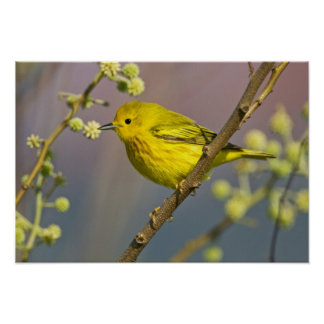 Yellow Warbler Dendroica petechia) adult 2 Poster