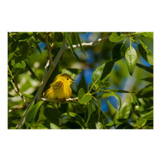 Yellow Warbler In Tree Near Augusta, Montana Poster
