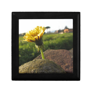 Yellow wildflower growing on stones at sunset gift box
