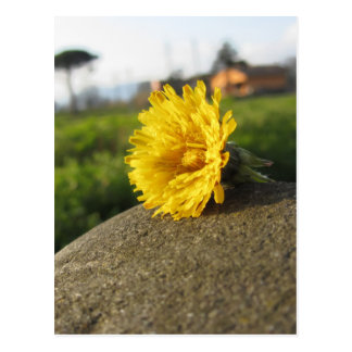 Yellow wildflower lying on a stone at sunset postcard