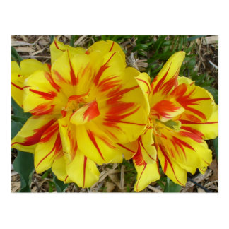Yellow with Red Striped Flower Postcard