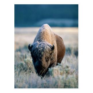 Yellowstone National Park, Wyoming, USA Postcard