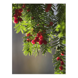 Yew berries postcard