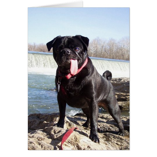 Yogi the Pug Greeting Card- Congrats Card