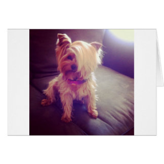 Yorkie with a Combover Card