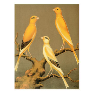 YORKSHIRE CANARIES POSTCARD